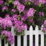 Camellias provide a stunning backdrop for this white picket fence.