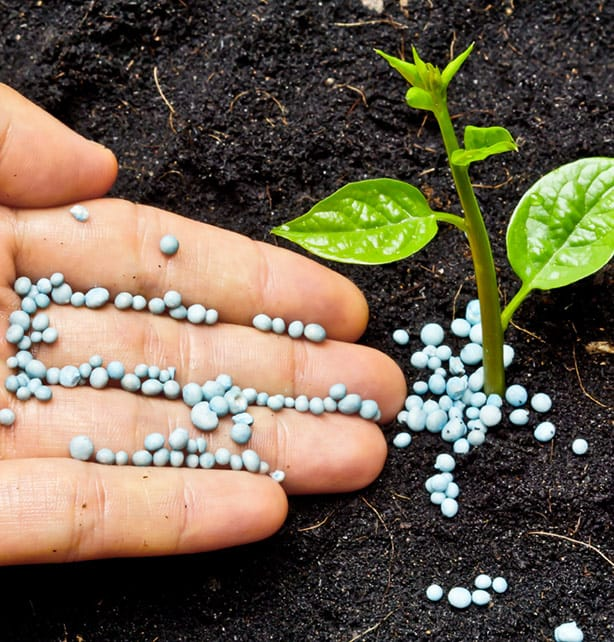 Mix slow-release dry fertilizer into the soil when you're planting to nourish the new plants.