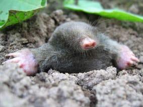 mole pest garden