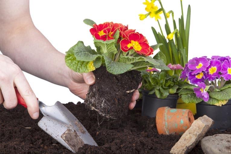 flowers-planting-primrose-ss